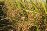 Kementan meloloskan 15 calon varietas padi sawah berprotein tinggi