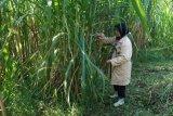 UGM mengembangkan rumput unggul hasil radiasi sinar gamma