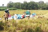 Lampung optimalkan budidaya padi gogo untuk tingkatkan produksi beras