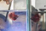 Dua orang juri melakukan penilaian terhadap ikan cupang yang mengikuti kontes di Bekasi, Jawa Barat, Minggu (1/11/2020). Kegiatan yang diadakan Betta Patriot diikuti 1.456 peserta dari Jabodetabek (Jakarta Bogor Depok Tangerang Bekasi) dan Jawa Tengah, dengan 46 kategori lomba. ANTARA FOTO/ Fakhri Hermansyah/aww.