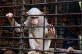 Seekor kera yang mengalami kelainan genetik sehingga kulitnya berwarna putih (albino) berada di kandang transit Balai Besar Konservasi Sumber Daya Alam (BBKSDA) Riau di Kota Pekanbaru, Riau, Senin (2/11/2020). Kera albino tersebut meski bukan satwa dilindungi namun termasuk satwa yang langka karena kelainan genetiknya sehingga kerap diperdagangkan secara ilegal hingga ke luar negeri. ANTARA FOTO/FB Anggoro/wsj.