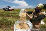 Luas panen padi 2020 di Sultra mencapai 132,99 ribu hektare