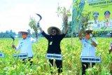 Menteri Pertanian hadiri panen raya kedelai di Polewali Mandar Sulbar