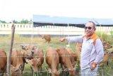 Bupati ingin  jadikan Buol penyuplai daging sapi untuk ibu kota negara