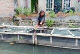 Gandeng Komunitas Sungai, Program Gemari sukses di Jogoiten Klaten