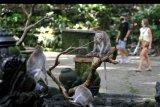 Wisatawan mengamati kera ekor panjang (Macaca fascicularis) saat mengunjungi Monkey Forest Ubud, Gianyar, Bali, Kamis (5/11/2020). Objek wisata unggulan di kawasan Ubud tersebut resmi dibuka kembali untuk kunjungan wisatawan setelah sempat ditutup sejak akhir bulan Maret lalu akibat pandemi COVID-19. ANTARA FOTO/Fikri Yusuf/nym
