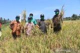 Petani  Kupang panen padi ditengah kemarau panjang