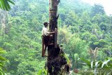 Pemkab Temanggung galakkan penanaman pohon aren