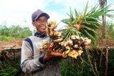 Petani Sumsel tertarik tanam jahe  karena harga Rp20.000/Kg