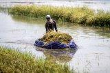 Petani memanen tanaman padi yang terendam banjir di persawahan desa Kedungringin, Beji, Pasuruan, Jawa Timur, Selasa (3/11/2020). Banjir akibat hujan deras beberapa hari terakhir merendam tanaman padi sehingga sebagian besar padi rusak dan terancam gagal panen. ANTARA FOTO/Umarul Faruq/foc.