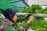 Dukung ketahanan pangan, Kodim 0410/KBL manfaatkan lahan untuk berkebun sayuran hidroponik
