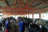 BPBD Sleman mengungsikan ternak milik warga lereng Gunung Merapi
