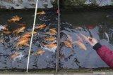 Pengunjung memberi makan ikan yang dibudidaya di aliran sungai kecil kampung Kluncing, Banyuwangi, Jawa Timur, Senin (9/11/2020). Budidaya berbagai jenis ikan yang melibatkan warga sekitar bantaran sungai itu selain bertujuan untuk menjaga kebersihan lingkungan juga diharapkan mampu menciptakan perputaran ekonomi melalui olahan makanan bebahan ikan. Antara Jatim/Budi Candra Setya/zk