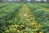 Balitbangtan melepas benih kedelai berbiji besar dan produksi tinggi