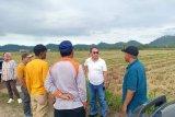 Pemkab Buol  tingkatkan produksi jagung-padi menuju swasembada pangan