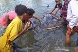 Hiu paus terdampar di kawasan mangrove Lombok Barat berhasil diselamatkan