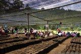Yayasan Mercy Corps fasilitasi petani Sigi-Donggala lakukan peremajaan benih