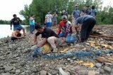 BKSDA Sultra melepasliarkan buaya temuan warga ke Taman Nasional