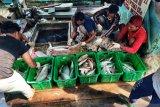 Nelayan Natuna panen  ikan jelang musim utara