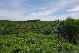 PTPN V memupuk asa petani sawit Makarti Jaya