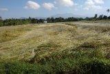 6,75 Hektare padi di Mataram rebah diterjang puting beliung