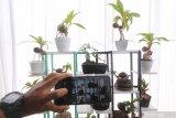 Pengunjung memotret bonsai kelapa yang dipamerkan di salah satu pusat perbelanjaan di Kota Kediri, Jawa Timur, Jumat (20/11/2020). Berbagai jenis tanaman hias dipamerkan seiring meningkatnya permintaan masyarakat perkotaan untuk bercocok tanam guna mengisi waktu di rumah selama pandemi COVID-19. Antara Jatim/Prasetia Fauzani/mas.