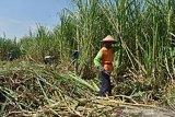 Butuh gebrakan menuju swasembada gula nasional
