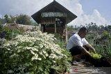 Warga merawat sayuran selada dengan memanfaatkan lahan pekarangan di sekitar tempat tinggal, Samarang, Kabupaten Garut, Jawa Barat, Sabtu (21/11/2020). Pemerintah Kabupaten Garut meluncurkan program Kawasan Rumah Pangan Lestari (KRPL) untuk masyarakat dan kelompok wanita tani guna meningkatkan kemandirian serta mempertahankan pangan nasional ditingkat rumah tangga. ANTARA JABAR/Candra Yanuarsyah/agr