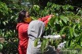 Perempuan Desa Alitupu-Poso  dilatih mengolah kopi jadi sumber ekonomi