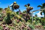 Panen Bawang Merah di Keerom Papua