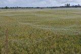 Petani Abdya pasang kelambu antisipasi serbuan burung pipit