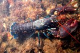 Kiara: Izin ekspor benih lobster bermasalah  sejak awal