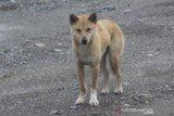 Freeport dukung Uncen teliti satwa 'anjing bernyanyi' di pegunungan Papua