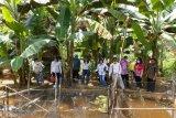 Program family farming di Gumas mulai membuahkan hasil