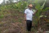 Nagari Pasia Laweh Agam buka lahan tidur 400 hektare