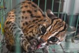 Penyelamatan Kucing Hutan