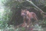Diusir malah tidur di kawasan parkir, harimau masuk permukiman resahkan warga Danau Kembar Kabupaten Solok