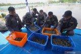 Anggota Primer Koperasi Angkatan Laut (Primkopal) Lantamal V Surabaya memasukkan udang ke dalam keranjang saat panen udang jenis vaname di tambak udang Pangkalan Utama TNI Angkatan Laut (Lantamal) V Surabaya di Semarung, Ujung, Surabaya, Jawa Timur, Jumat (4/12/2020). Panen udang vaname yang dibudi dayakan di tambak seluas empat ribu meter persegi tersebut merupakan bentuk implementasi program ketahanan pangan dari Lantamal V Surabaya sekaligus dalam rangka Hari Armada Republik Indonesia tahun 2020.  Antara Jatim/Moch Asim.