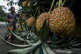Pedagang merapikan buah Nanas Madu di kawasan Ciater, Kabupaten Subang, Jawa Barat, Jumat(4/12/2020). Nanas Madu Subang yang dijual dengan kisaran harga Rp. 3.500 hingga Rp. 30.000 tersebut mulai mengalami peningkatan penjualan hingga 30 persen dan diprediksi terus bertambah hingga libur Natal dan Tahun Baru mendatang. ANTARA JABAR/Novrian Arbi/agr