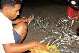 Fenomena Ikan Hidup Naik Ke Pesisir Pantai Lewoleba