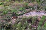 Seekor harimau sumatera (Panthera tigris sumatrae) berada di ladang warga di Nagari Simpang Tanjung Nan Ampek, Kecamatan Danau Kembar, Kabupaten Solok, Sumatera Barat, Kamis (3/12/2020). Petugas BKSDA Sumbar bersama tim dokter hewan Pusat Rehabilitasi Harimau Sumatera Dharmasraya (PR-HSD) melakukan penghalauan dan upaya penangkapan sejumlah harimau Sumatera yang dilaporkan masuk ke ladang warga di daerah itu. ANTARA FOTO/Iggoy el Fitra/aww.