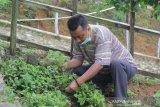 UNS eksplorasi nilai tambah tumbuhan janggelan khas Wonogiri