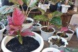 Penjual tanaman hias raup omset jutaan rupiah per hari