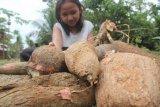 Daerah ini pilih kembangkan produksi ubi kayu sebagai pangan lokal 2021