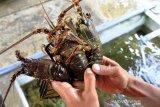 Permintaan Lobster Kualitas Ekspor