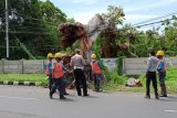 Ratusan pohon tumbang akibat angin kencang di Mataram sejak November