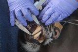 Tim dokter hewan memeriksa kesehatan seekor Harimau Sumatera (Panthera tigris sumatrae) bernama Corina yang berjenis kelamin betina di Pusat Rehabilitasi Harimau Sumatera Dharmasraya (PR-HSD) Arsari, Kabupaten Dharmasraya, Sumatera Barat, Jumat (11/12/2020). Pemeriksaan kesehatan tersebut dilakukan untuk mengetahui kondisi kesehatan hewan sebelum dilepasliarkan ke habitatnya. ANTARA FOTO/Muhammad Arif Pribadi/Lmo/foc.