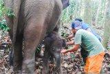 Bayi Gajah Lisa TNTN menunggu diberi nama, begini sebabnya