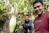 Bunga bangkai tumbuh di kebun kelapa sawit warga Garagahan Agam