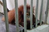 Sembilan orang utan dari Perak direpatriasi ke Indonesia